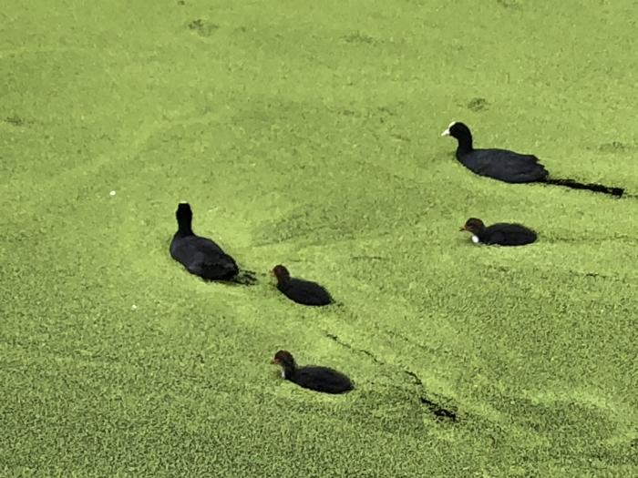 Meerkoeten in het groen