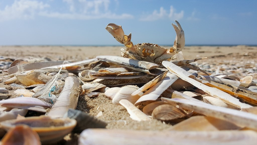 Op het strand in onze provincie is het goed toeven, aldus Klaas de Vries. Geen overvolle bedoening maar gezelligheid en relatieve rust. Er spoelt ook van alles aan, vooral schelpen en Krabben. Klaas de Vries © BDU media