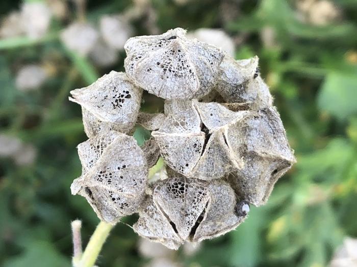 Uitgebloeide bloemen van de Muskuskaasjeskruid