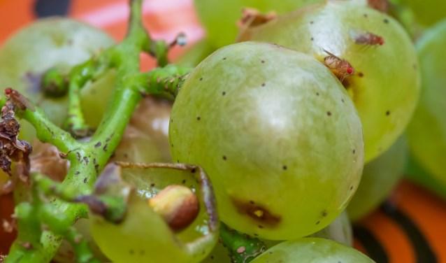 Fruitvliegen op druiven.