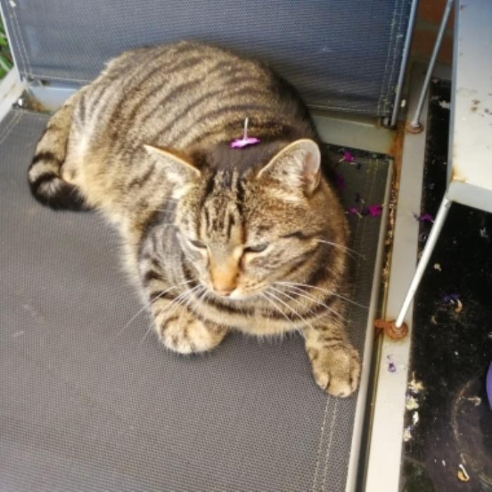 Vermiste kat Graaf Wichmanstraat Putten eigenaar © BDU media