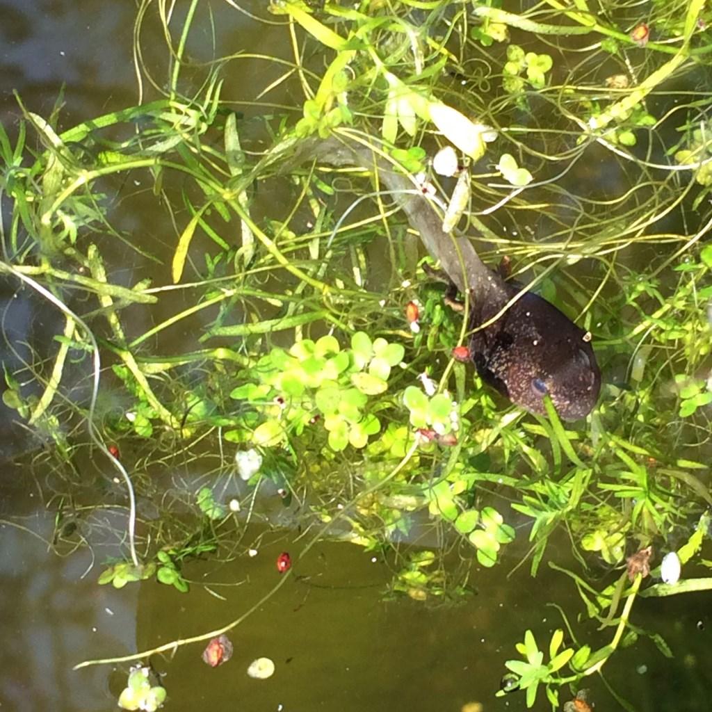 Deze kikkervis zwom op 3 april al in de vijver rond. Jos Spier © BDU media