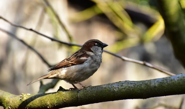 <p>Voorafgaand aan de start van de werkzaamheden wordt een breed onderzoek uitgevoerd om vogels als de huismus in kaart te brengen.</p>