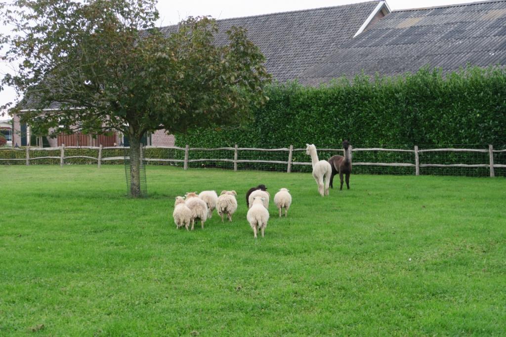 De alpaca's lopen samen met de schapen in de dierenweide Natuurspeelweide © BDU media