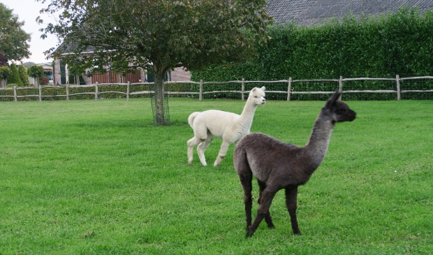 Alpaca's logeren op de Natuurspeelweide
