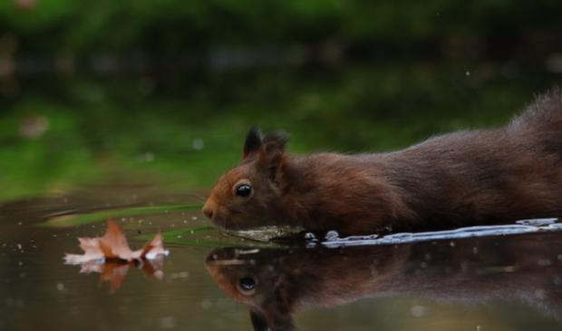 <p>Eekhoorn vind herfstblad </p>