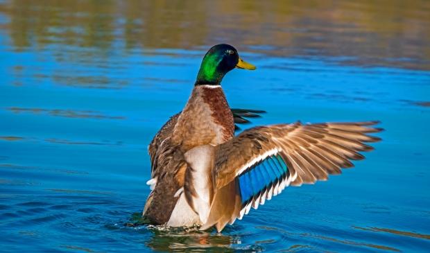 <p>In Gorinchem is een wilde vogel gevonden met het besmettelijke vogelgriepvirus H5NB</p>