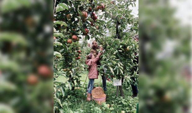 Oogsten van adoptie appelboom