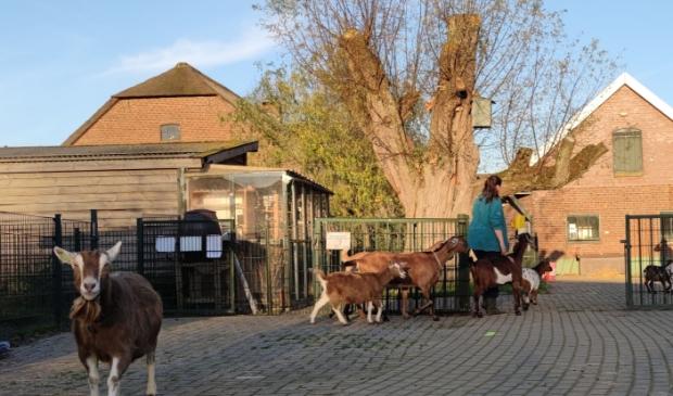 Een van de medewerkers bij Buitenwereld aan het werk met de geiten