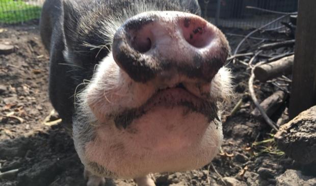 Spekkie, een van de drie nieuwe varkens van Dier en Wij