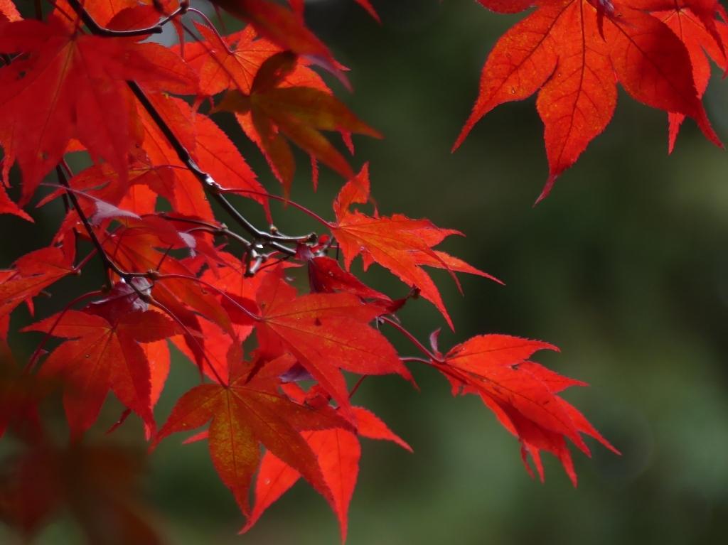 """,,Rode esdoornbladeren uit mijn eigen tuin in Odijk."""" Elly-Ann van Luxemburg © BDU media"""