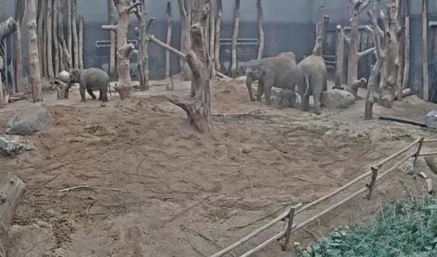 Het kalfje rechts, vlak voor de twee volwassen olifanten. Youtube/DierenPark Amersfoort © BDU Media