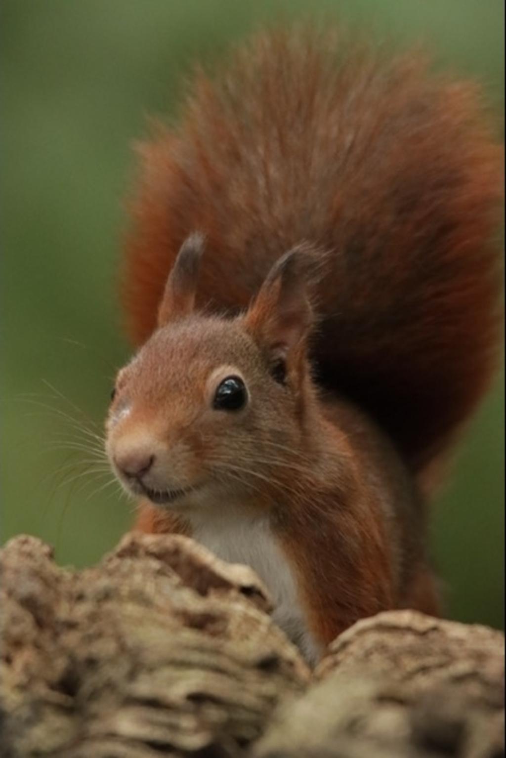 Eekhoorns zijn momenteel druk met voorraad zoeken.  In de herfst heb je de meeste kans dat je er een ziet Gerrie de With © BDU media