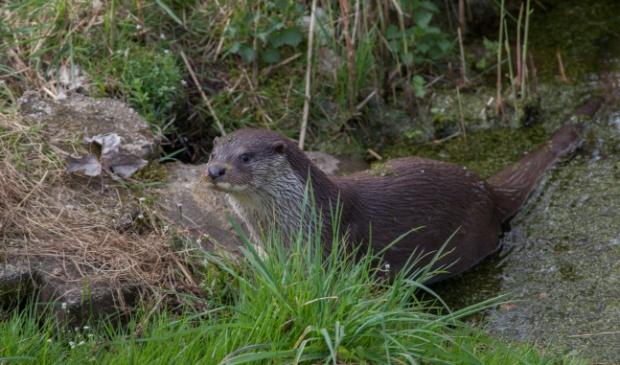 <p>De otter wordt steeds talrijker in Nederland. Het exemplaar op de foto is overigens niet het dier dat gezien is bij Amelisweerd</p>