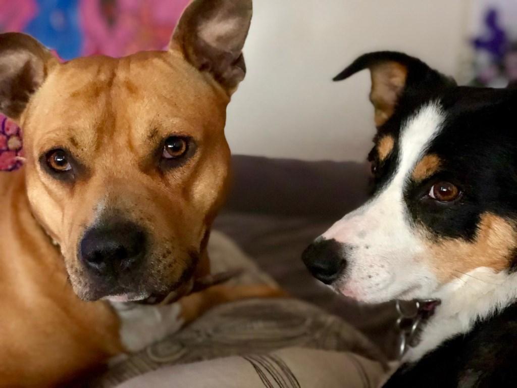 Voor het bezit van honden moet in Gorinchem ook in 2020 nog worden betaald.