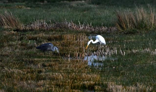 Concurrenten vissen gebroederlijk in de buurt van Lunteren: links de blauwe reiger en rechts de grote zilverreiger.