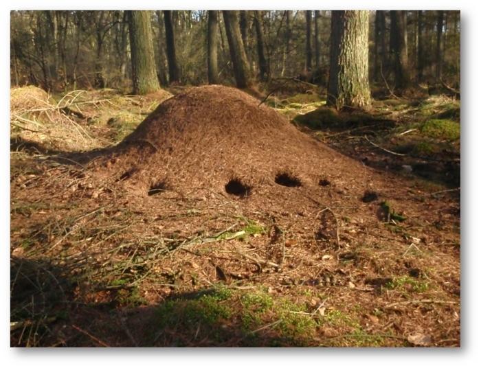 Rode bosmierennest met  vraatsporen