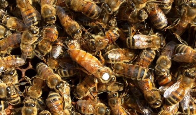 Koningin met bijenvolk