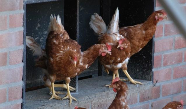"""Kippen verlaten hun stal. De Barneveldse wethouder Aart de Kruijf is voorstander van het plaatsen van zonnepanelen in de vrije uitloop van legkippen. ,,Daarmee slaan we twee vliegen in één klap."""""""
