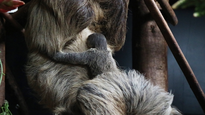 Luiaardjong houdt zich vast aan moeder Dierenpark Amersfoort © BDU media