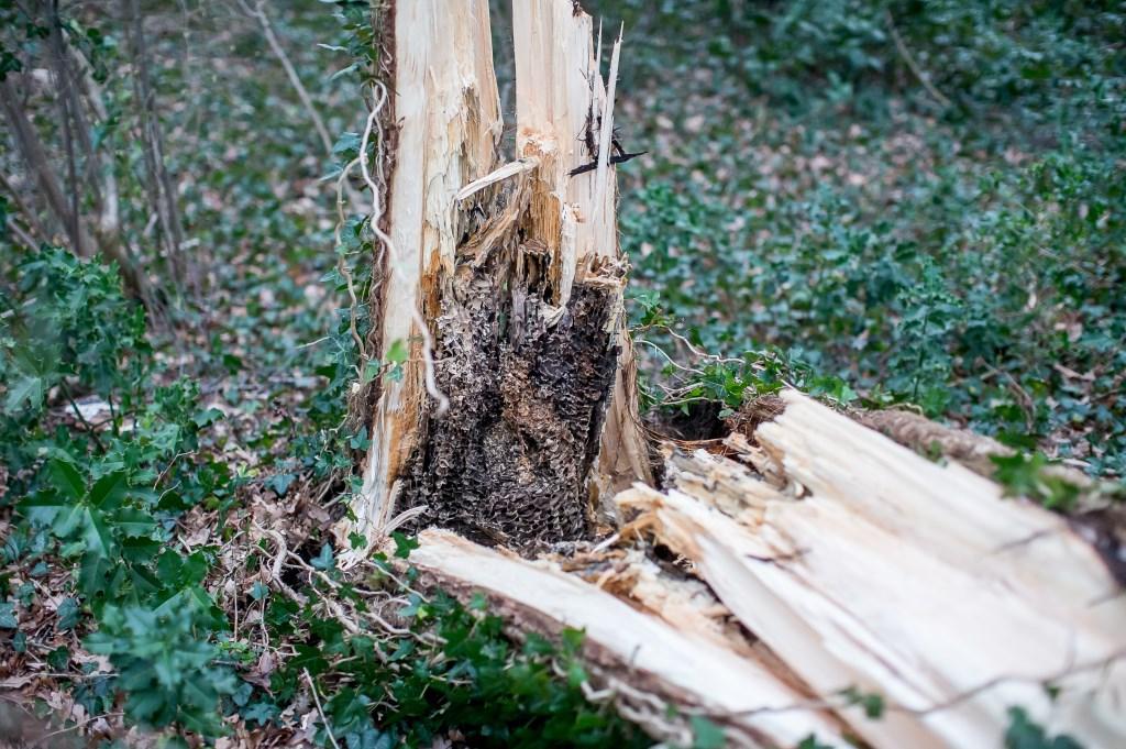 Een voormalig wespennest lijkt er de oorzaak van de de boom omviel Ted Walker © BDU Media