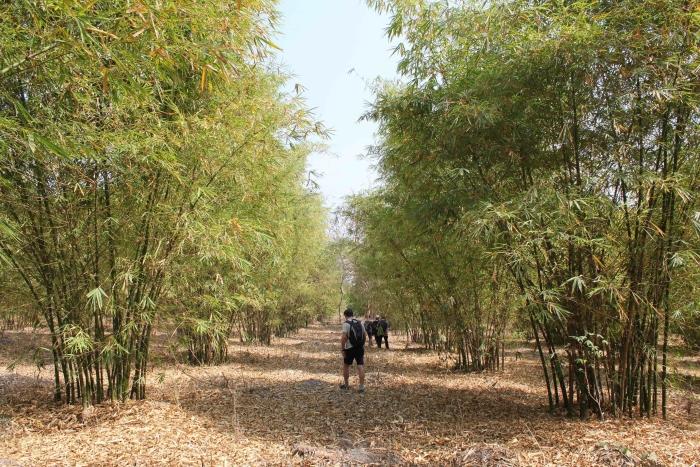 drie jaar oud bamboebos