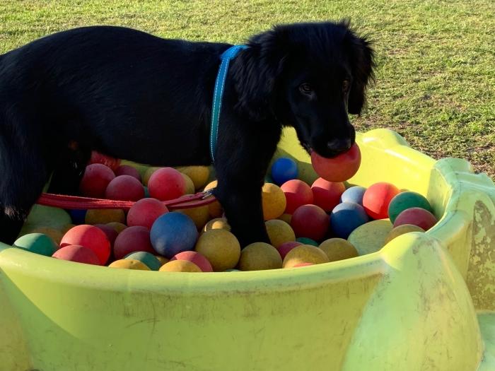 Puppycursus bij KC Zoys Veronique Wildeboer © BDU media