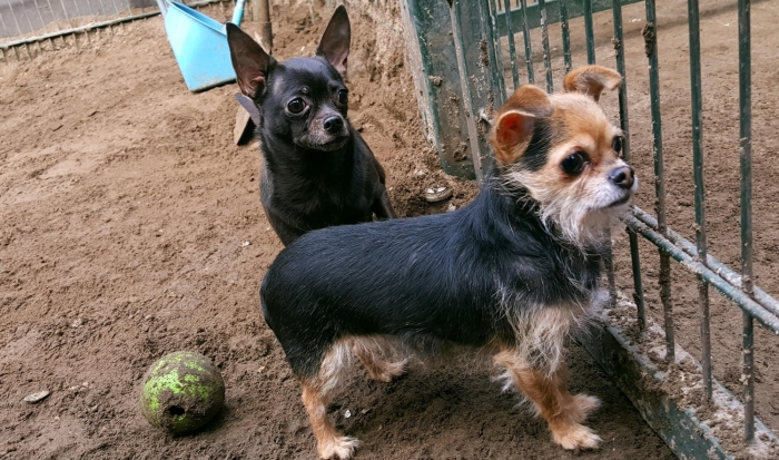 Chihuahua's Chilli en Pepper