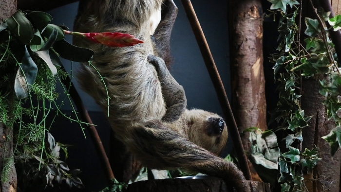 Luiaardjong met moeder Dierenpark Amersfoort © BDU media