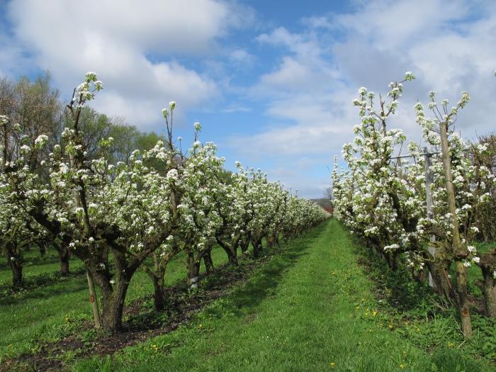 Bloeiende perenbomen