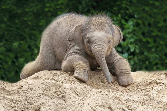 In afwachting van een klein olifantje Dierenpark Amersfoort © BDU media