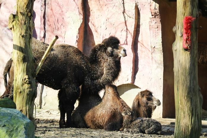 Kamelen familiefoto Dierenpark Amersfoort © BDU media