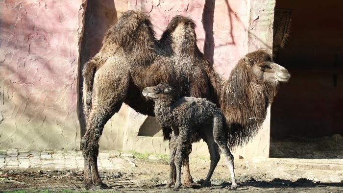 Kameeltje samen met moeder Dierenpark Amersfoort © BDU media