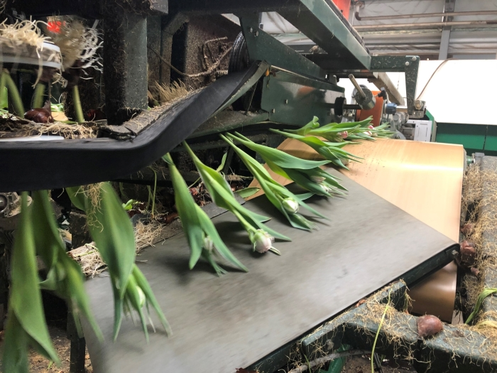 verse tulpen voor de zorg bas brommet  © BDU media