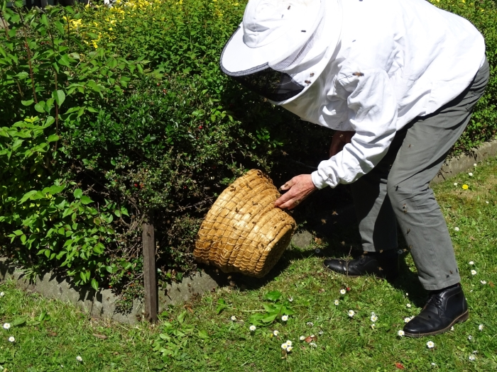 Imker Teun van Dalen verwijdert zwem bijen
