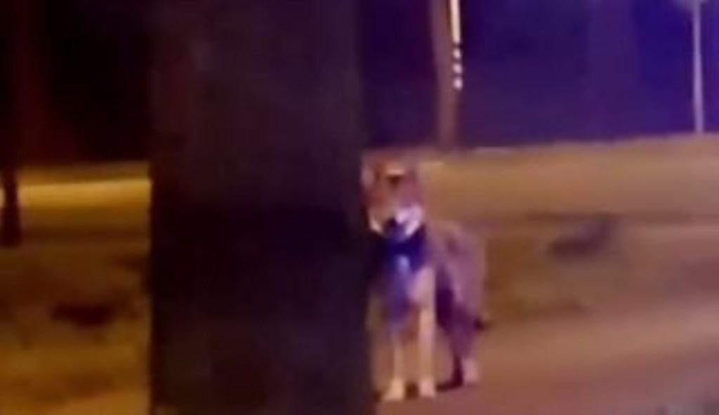 Een Soester deed een merkwaardige ervaring op en spotte een wolf aan de Koningsweg in Soest. Onbekend © BDU media