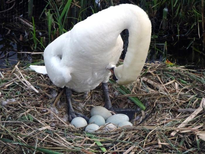 Moeder zwaan even opfrissen