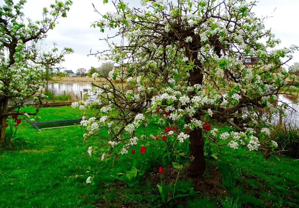 Witte bloesemboom. Rieneke Kroese © BDU media