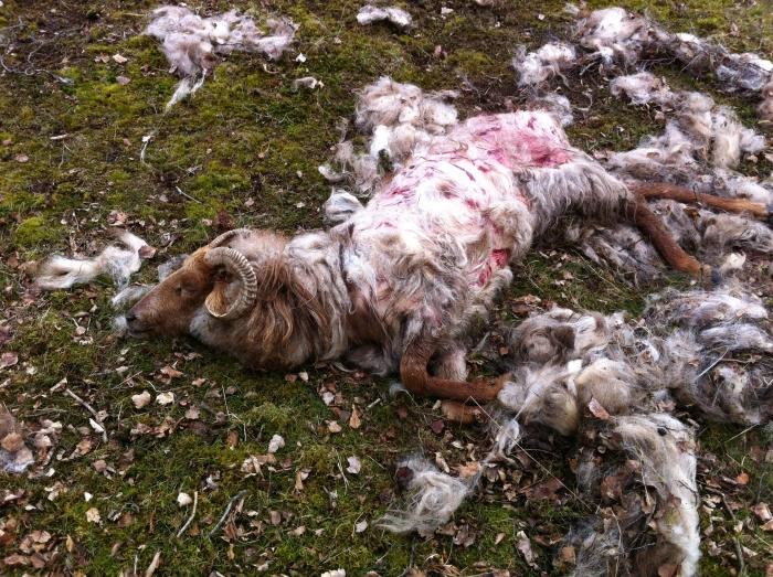 Verscheurd schaap door loslopende honden eigen foto © BDU