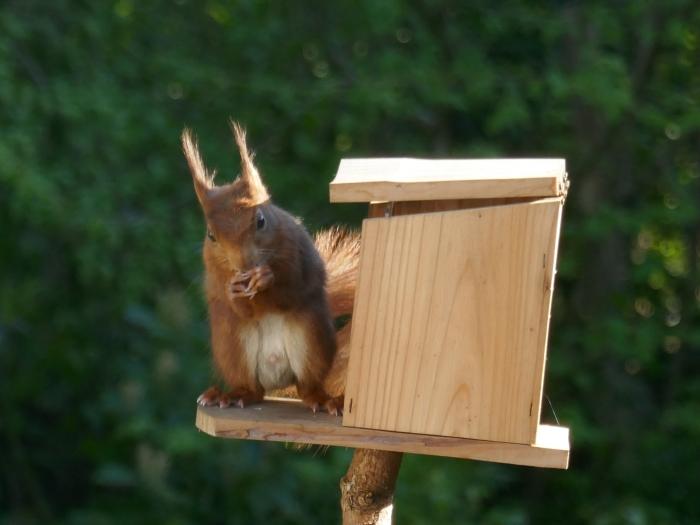 Een van de eekhoorntjes die ook nu nog regelmatig onze tuin bezoeken