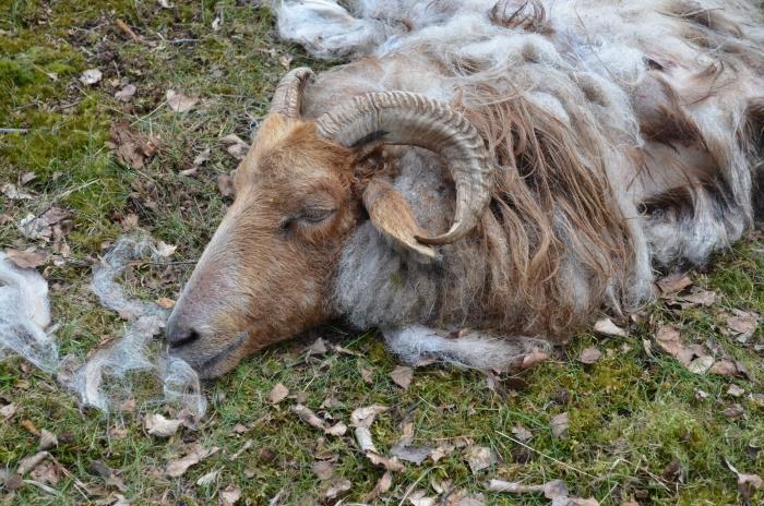 Ook dit schaap heeft het niet overleefd. eigen foto © BDU