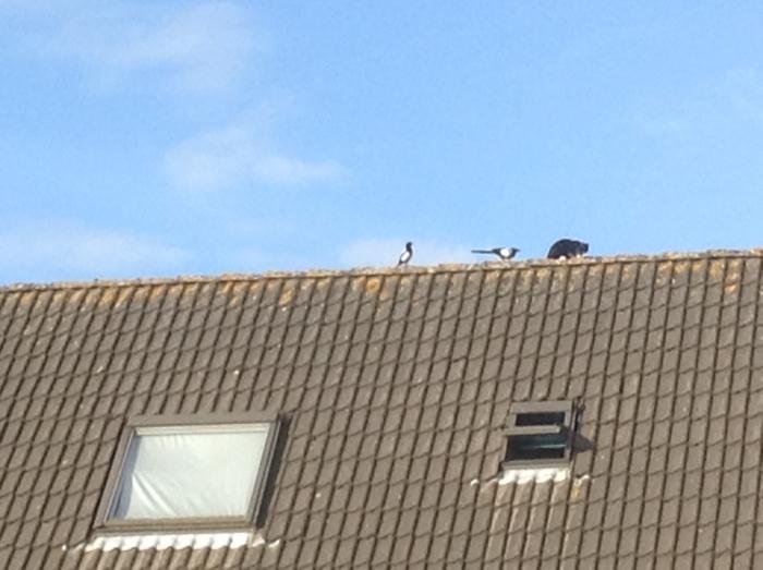 Kat op dak en 2 eksters