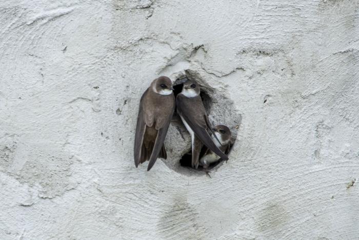 3 oeverzwaluwen in de betonnenwand bij de Toolenburgerplas.