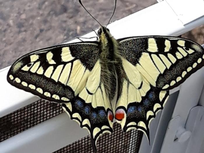 Koninginnepage vlinder Anita van der Wal-Zuurbier © BDU