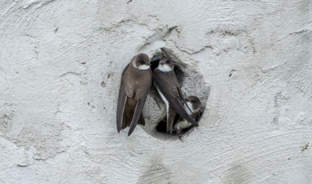 3 oeverzwaluwen in de betonnenwand bij de Toolenburgerplas. Dit dierengeluk is ernstig verstoord.