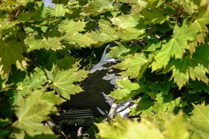Moeder duif tussen de bladeren Betting Kroese © BDU media