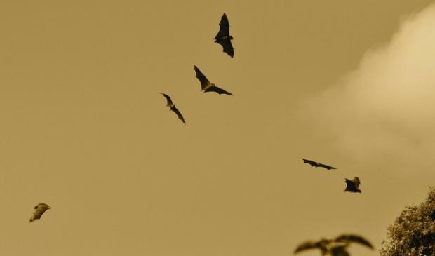 Vleermuizen komen pas bij schemering uit hun schuilplaats.