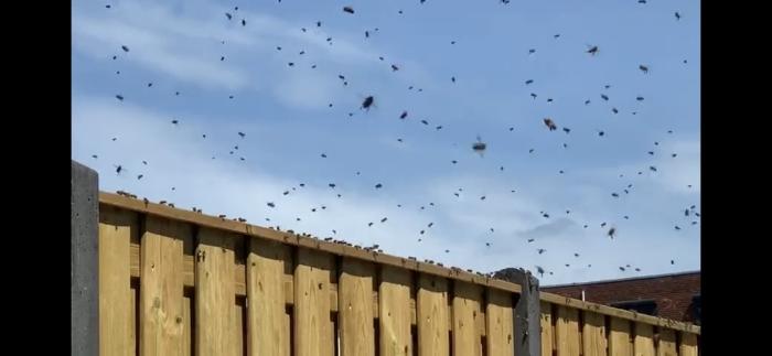Zwerm bijen in de lucht op zoek naar de Koningin Wietske van Vliet © BDU media