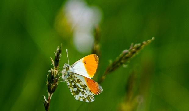 Het oranjetipje