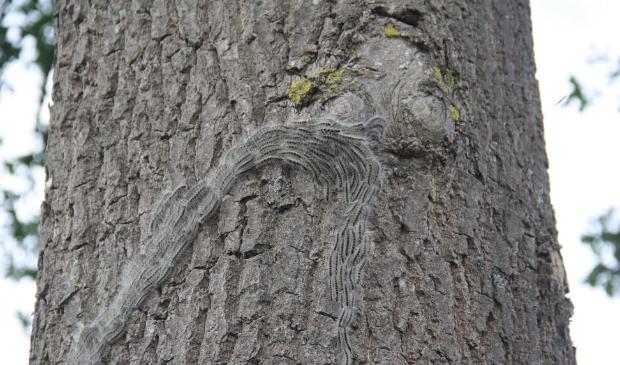 In dikke drommen verplaatsen de rupsen zich door de bomen.